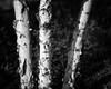 birch (fallsroad) Tags: tulsaoklahoma guthriegreen urban city park tree birch bark peeling dof blackandwhite bw monochrome