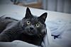 49/52❤ (clo dallas) Tags: cat feline pet teo indoors eyes nature