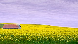 Field of Rapeseed and Barn 664 A