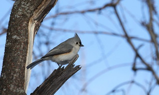 Tufted titmouse / Mésange bicolore