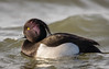 Tufted Duck (Paul A Wiles) Tags: watermead country park south tufted duck male