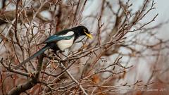 Yellow-billed Magpie (Bob Gunderson) Tags: birds california centralvalley corvids lakesolano northerncalifornia picanuttalli solanocounty yellowbilledmagpie