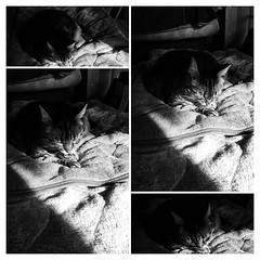 Collage of Cat (sjrankin) Tags: 30december2017 edited collage autoprocessed grayscale tigger blanket bedroom floor sunlight sunbeam shadow yubari hokkaido japan montage