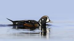 Retrospective 2017- Harlequin Duck (Chantal Jacques Photography) Tags: harlequinduck commediadellarte bokeh depthoffield wildandfree retrospective favoriteencounter