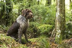 Lilly (Tararua Light Watch) Tags: mikewatkinsphotography turitea turiteareserve lillianofeastblock lilly deerdog dog nzbush gwp