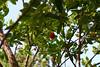 Santiponce! (domit) Tags: santicponce italica spain sevilla tree leaves fruit