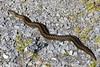 Adder . Hen snake. Vipera berus (gailhampshire) Tags: adder hen snake vipera berus taxonomy:binomial=viperaberus