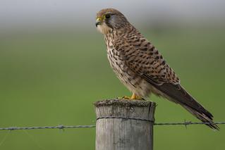 Peneireiro-Comum I Falco tinnunculus