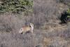 Spring Lynx (blkwolf1017) Tags: lynx lynxcanadensis canadianlynx denalinationalpark alaska spring tiaga canon20d sigma300mm28