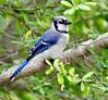 Blue Jay (Rafael Arvelo C.) Tags: bluejay cyanocittacristata usa eeuu bird