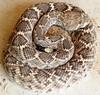 Hibernation in the garage (jimsc) Tags: diamondback rattlesnake rattler serpent snake reptile wildlife critter fauna viper ngc garage winter hypernation hybernating sleeping arizona pimacounty tucson catalina sony dsc f707 jimsc