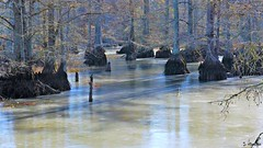 Shadows on Ice (Suzanham) Tags: ice icy swamp shadows cypress cold winter mississippi