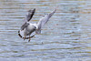 Atterrissage imminent - Imminent landing (bboozoo) Tags: lac lake mouette gull nature animal wildlife canon6d tamron150600 bif