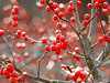Profusion (Alemap.1) Tags: berries macro red bush winter