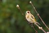 Hello Mr Goldfinch (stellagrimsdale) Tags: goldfinch bird tree perched colours finch wildlife wings bud
