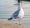 Herring Gull on Poole Quay (David Gange) Tags: poole quay nikon d300s tamron 18200mm macro aspherical lens gull bird