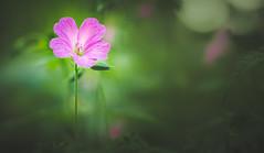 Geranium (Dhina A) Tags: sony a7rii ilce7rm2 a7r2 sigma 105mm f28 sigma105mmf28 ex dg os hsm macro green geranium flower bokeh