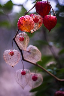 Physalis - Lampionblume - Winter Cherry