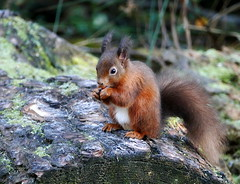 Red Squirrel (eric robb niven) Tags: ericrobbniven redsquirrel wildlife springwatch