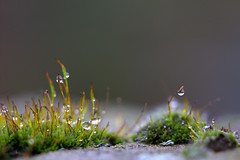 light in the darkness (herman hengelo) Tags: moss macro raindrops garden hengelo mos tuin thenetherlands darkness light