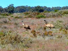 Emu, Yanga NP, NSW (Diepflingerbahn) Tags: emu landscape yanganationalpark outback scrub riverina nsw bird