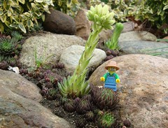 Late Bloomer (captain_joe) Tags: toy spielzeug 365toyproject lego series15 minifigure minifig farmer