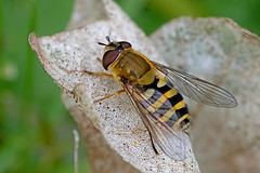 Syrphus vitripennis - a hoverfly (BugsAlive) Tags: fly hoverfly animal outdoor insect diptera macro nature syrphidae syrphusvitripennis wildlife strattonwood wiltshire liveinsects uk bugsalive