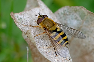 Syrphus vitripennis - a hoverfly