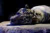 Rocky ♂ - Now It's Dark (Belteshazzar (AKA Harimau Kayu)) Tags: rocky kara tiger zoo animal bigcat bigcats feline bengaltiger pantheratigristigris königstiger indischertiger eltigredebengala tigredubengale latigrerealedelbengala бенгальскийтигр 孟加拉虎 whitetiger weisertiger tigreblanco tigreblancroyal белыйтигр 孟加拉白虎 zooshot tobu tobuzoo snowwhite sunbathing canada playful playfulcat playfultiger playfulwhitetiger bengal nightzoo