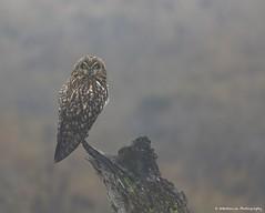 Owl in the Fog (wmckenziephotography) Tags: shortearedowl owl owlsofbc wildowls wildlife wildowl raptor raptorsofbc birdsofprey