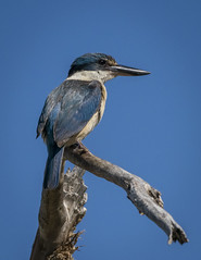 Royal Angler (SteveKPhotography) Tags: sony stevekphotography alpha a99ii ilca99m2 sal70400g2 bird avian animal fauna nature outdoors wildlife sacredkingfisher todiramphussanctus canningriver westernaustralia