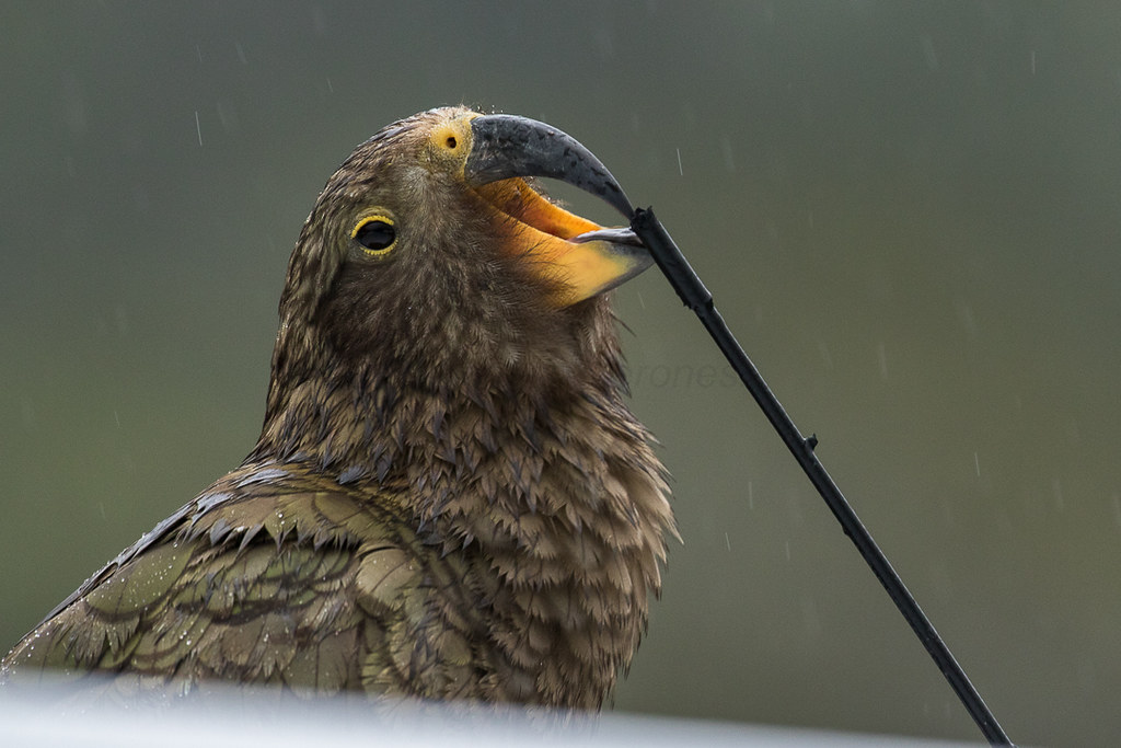 Kea working on car antenna - New Zealand by fveronesi1, on Flickr