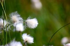 Naturephotography in Lapland (satu.ylavaara) Tags: naturephotography nature myphotography photographersatuylavaara luonto luontokuvat luontokuvaus luontokuvvaus lappi lapissa suomenlapissa suomi finland lappland lapland summer midsummer midsommar juhannus juhannus2016 2016