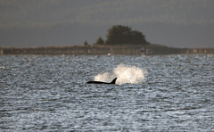 Orca female, 1 mile off shore. (Gillfoto) Tags: orca female alaska juneau whale winter cold sunny