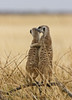 Don't Worry ... (AnyMotion) Tags: meerkat erdmännchen suricatasuricatta 2008 makgadikgadi botswana anymotion africa afrika animal animals tiere nature natur reisen travel wildlife ngc npc
