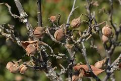 Ripe nuts on native Snowdrop Bush (Styrax redivivus, Styracaceae) (Treebeard) Tags: deciduous nut snowdropbush styraxredivivus styracaceae sanmarcospass santabarbaracounty california