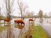 LAND UNTER P1071196 (hans 1960) Tags: natur nature landschaft landscape hochwasser wasser regen rain rinder cows spiegelung grey grau germany bliesauen deutschland saarland gras green grün trees bäume fluss river blies