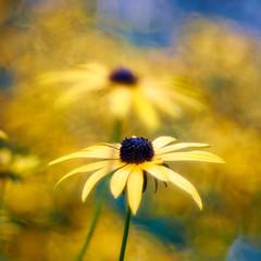 You Matter To Me (matt.kueh) Tags: flower plant blume rudbeckia bokeh bokehlicious vintagelens m42 depthoffield painterly dreamy meyeroptikgoerlitztrioplan100mmf28