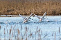 Leighton Moss (Josh R S) Tags: birds leightonmoss rspb silverdale wildlife wildlifephotography rspbleightonmoss swans cygnets britishwildlife britishwildlifeimages wildlifeimages