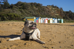 Ranelagh Beach, Mt Eliza, Mornington Peninsula (Kokkai Ng) Tags: ranelaghbeach mteliza morningtonpeninsula victoria beach ranelagh victoriaaustralia coastline coastalfeature blue sky clearsky summer australia multicolored beachhut changingcubicle famousplace bright vibrantcolor horizontal sand sea dog pets happiness relaxation content sunbathing sunlight pug bostonterrier animal offleashdogpark oneanimal inarow cliff bush photography scenicsnature selectivefocus nopeople lyingdown builtstructure buildingexterior oldfashioned facade australianculture chubba
