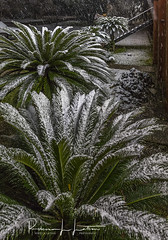 Snow On The Palm Ferns in Southeast Texas (rebeccalatsonphotography) Tags: snow palm palmfern tx texas morning winter december southeasttexas oxymoron canon 5dsr 2470mm rebeccalatsonphotography