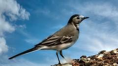 The Bird (YᗩSᗰIᘉᗴ HᗴᘉS +11 000 000 thx❀) Tags: bird oiseau sky blue clouds nature hensyasmine yasminehens faune fauna 7dwf