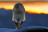 Barn owl (Zahoor-Salmi) Tags: zahoorsalmi salmi wildlife pakistan wwf nature natural canon birds watch animals bbc flickr google discovery chanals tv lens camera 7d mark 2 beutty photo macro action walpapers bhalwal punjab