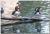 Canard mandarin (Marc Jarry) Tags: oiseau faunesauvage canardmandarin