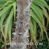 Kalanchoe beharensis-3 (SUBENUIX) Tags: crassulaceae kalanchoebeharensis suculentas subenuix subenuixcom planta suculent suculenta botanic botanical