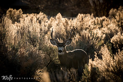 young buck in the bushes (Aaron_Smith_Wolfe_Photography) Tags: deer sage carsoncity nevada sierra mountaintown