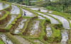 Working the Land (monojussi) Tags: bali indonesia jatiluwih terraces