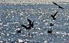 A travers les étoiles du lac (Diegojack) Tags: tolochenaz vaud suisse oiseaux mouettes vol voltige etoiles léman lumière reflets lumières silhouettes