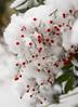 Snow Berries (s.d.sea) Tags: pentax k5iis plants nature plant green garden macro washington washingtonstate pnw pacificnorthwest king county seattle eastside winter snow christmas issaquah klahanie sammamish december
