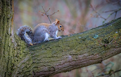 Grey Squirrel (donnasmith13) Tags: animal branch brown bushy creature critter cute eye eyes fur furry grey mammal natural nature oak outdoor outdoors outside red rodent sciurus sitting small squirrel tail tree trunk wild wildlife winter wood canon77d